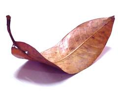 Dead Leaf - White