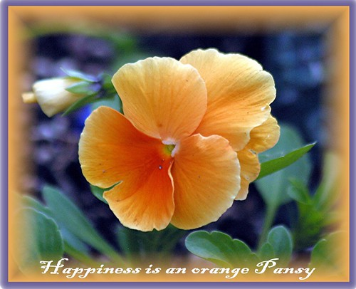 Orange Pansy by Mary Alice