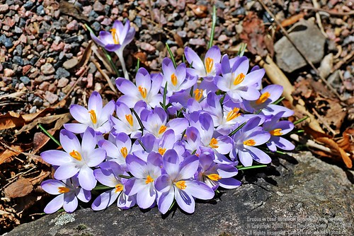 ღ The Series of Crocus photos ღ