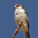 Pygmy Falcon IMG_1342