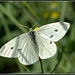 Cabbage White - Photo (c) Eran Finkle, some rights reserved (CC BY)