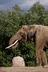 Toronto Zoo - elefant
