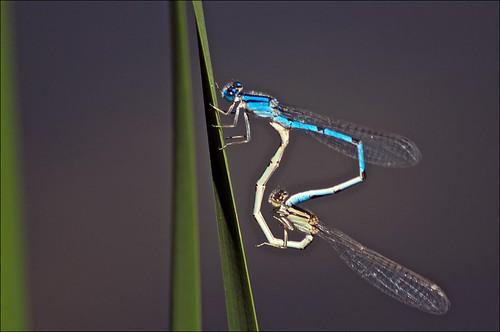 blue green mating damselflies bluetaileddamselfly ischnuraelegans