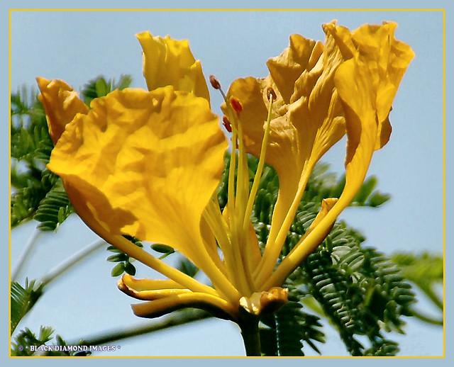 Delonix regia var. flavida - Yellow Poinciana