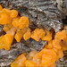 Dacrymyces - Photo (c) Amadej Trnkoczy, some rights reserved (CC BY-NC-SA)