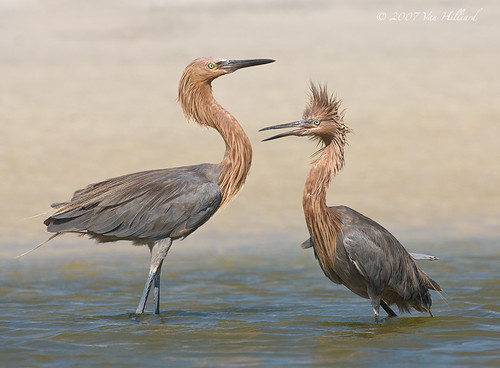Reddish Egret Meeting and Greeting