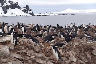 072 Wandeling Halfmoon Island - kinbandpinguins
