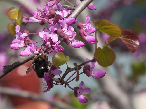 SmallCarpenterBee_on_Redbud_1807a