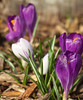 Spring Crocus by Travis Photo Works
