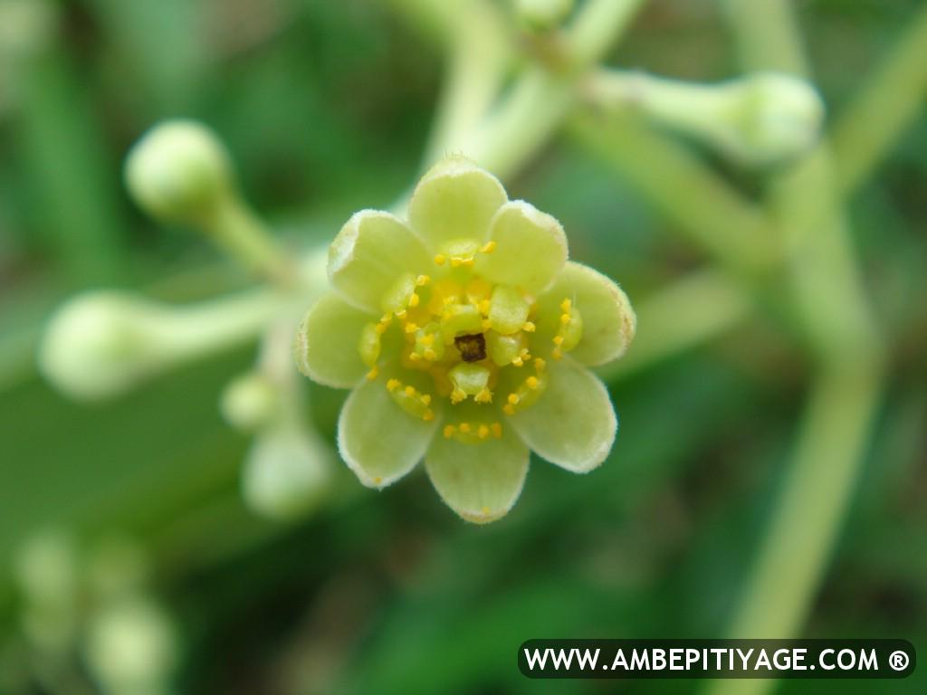 cinnamon flower - photo #8