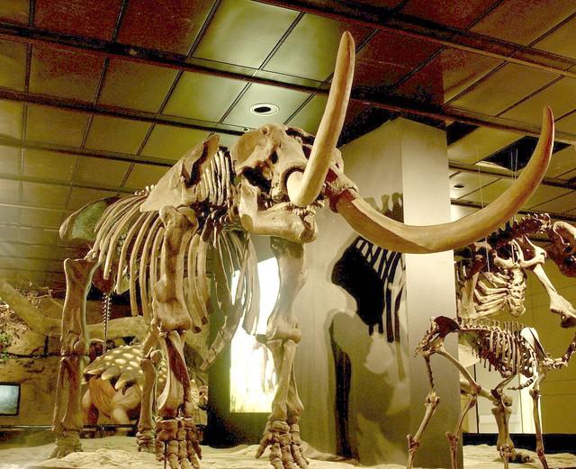 Header of American mastodon