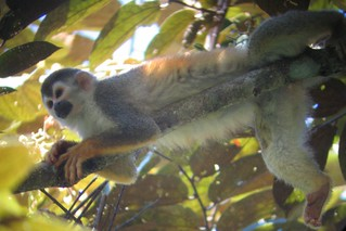 Squirrel Monkey, Manuel Antonio National Park