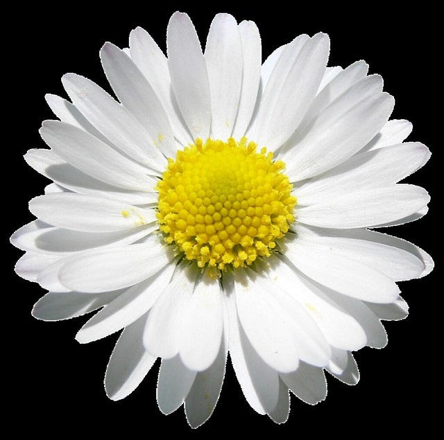 Daisy beauty, Png file, Attention only the maximum original size is in png format
