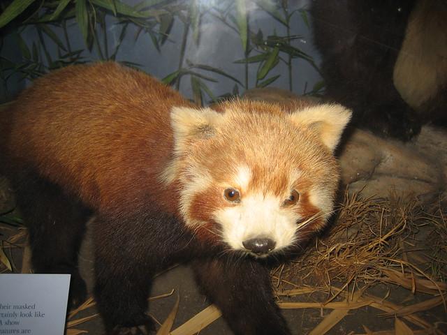 Sad (dead) red Panda! ...