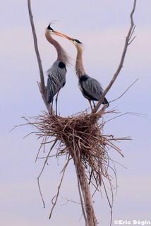 Great blue heron - Courtship scenes