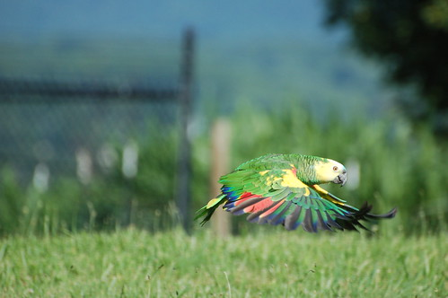parrot training, blue fronted amazon, training blue fronted amazons, training amazons