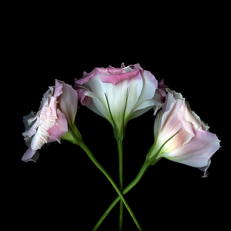THE 3 FLOWER MUSKETEERS, Lysianthus by magda indigo