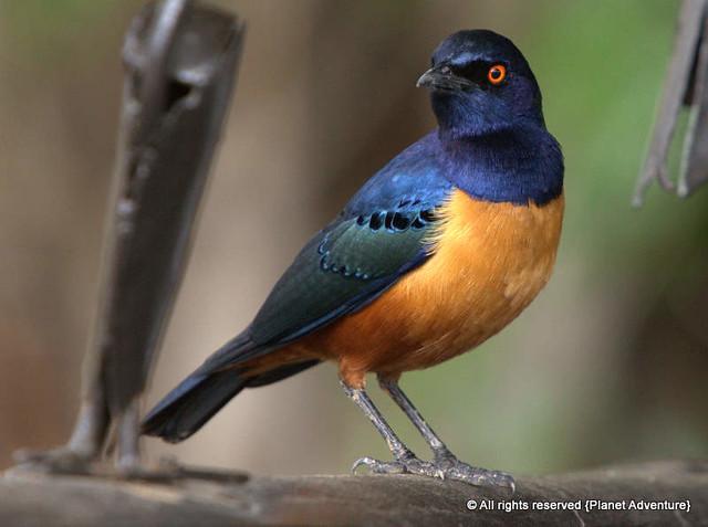 Bird - Serengeti National Park - Tanzania - Africa