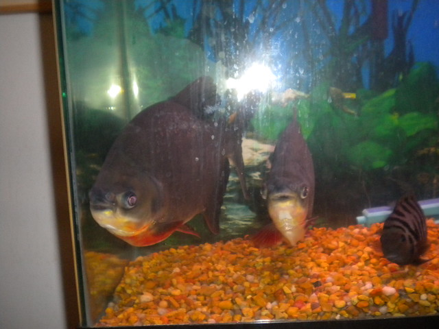 Red+Belly+Pacu Red Belly Pacu Flickr - Photo Sharing!
