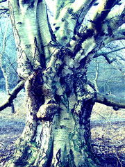 Giant Silver Birch Tree, colour adapted