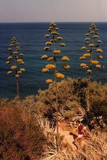 Century Plants in flower
