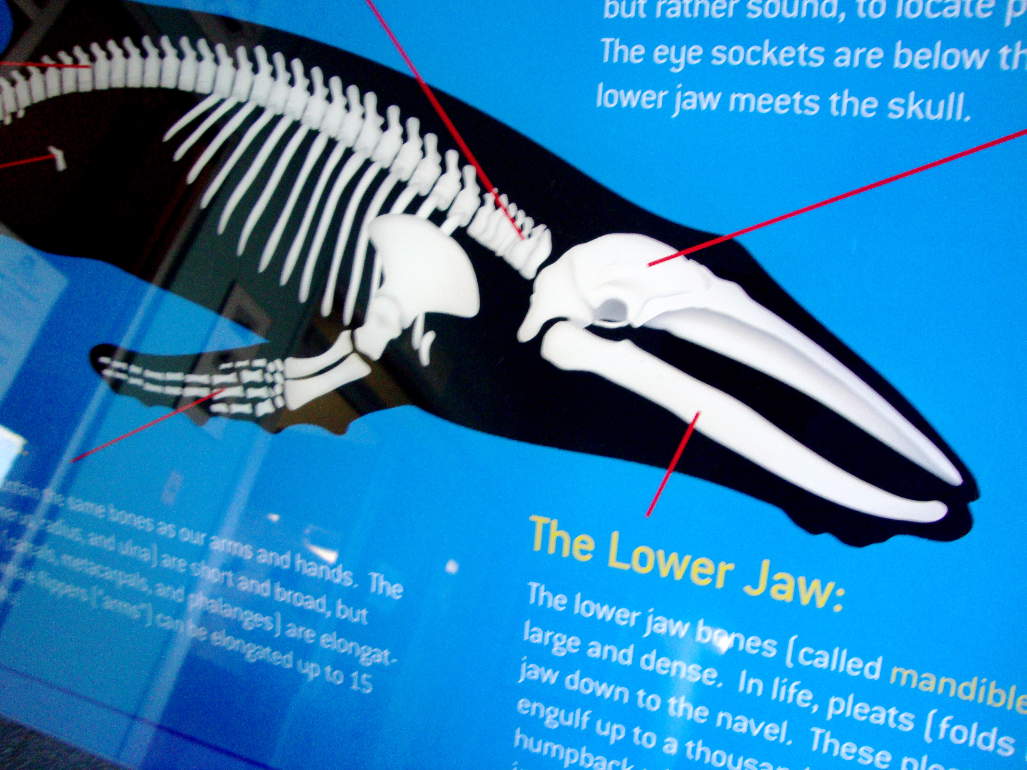 Blue Whale Skeleton Diagram Blue whale skeleton diagramHumpback Whale Skeleton Diagram