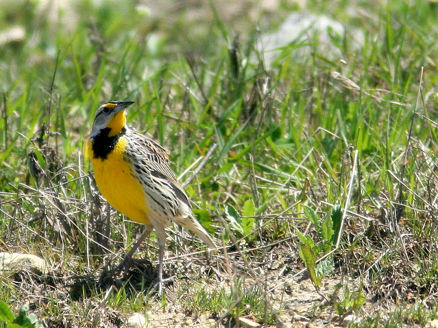 Eastern Meadowlark 2-20100426
