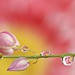 Buds and Drops......... by aroon_kalandy