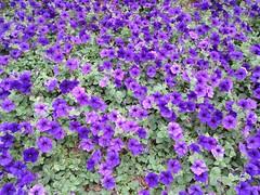 aubrieta(0.0), annual plant(1.0), flower(1.0), plant(1.0), wildflower(1.0), viola(1.0),