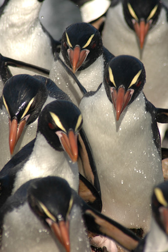 Snares Crested Penguin Mass by Darren Scott Photo & Furniture