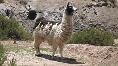 zoo(0.0), guanaco(0.0), alpaca(1.0), animal(1.0), llama(1.0), fauna(1.0), vicuã±a(1.0), camel-like mammal(1.0), wildlife(1.0),