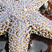 Giant Sea Star - Photo (c) Daniel Johnson, some rights reserved (CC BY-NC-SA)