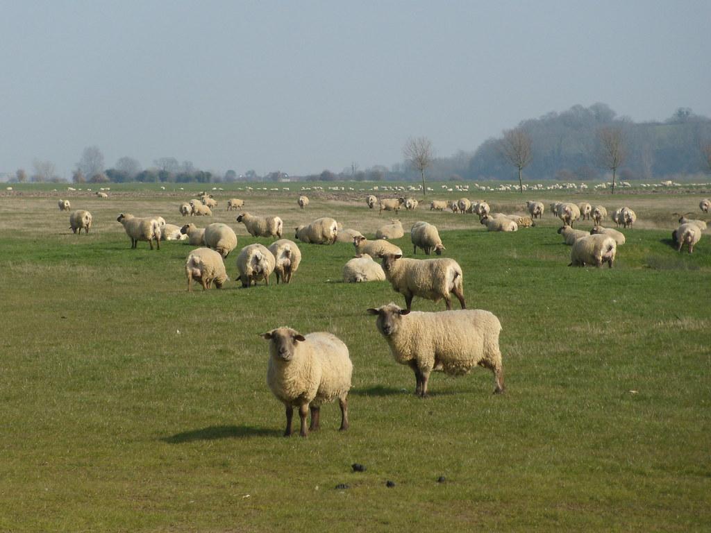 Sheep Rye Circular