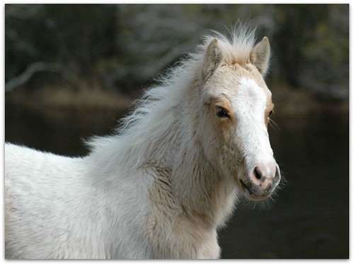 A is for Adorable, B is for Baby, C is for Chincoteague....which means PONIES!