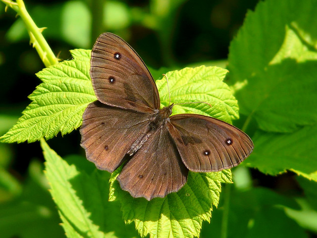 Common Wood-Nymph Butterfly | Flickr - Photo Sharing!