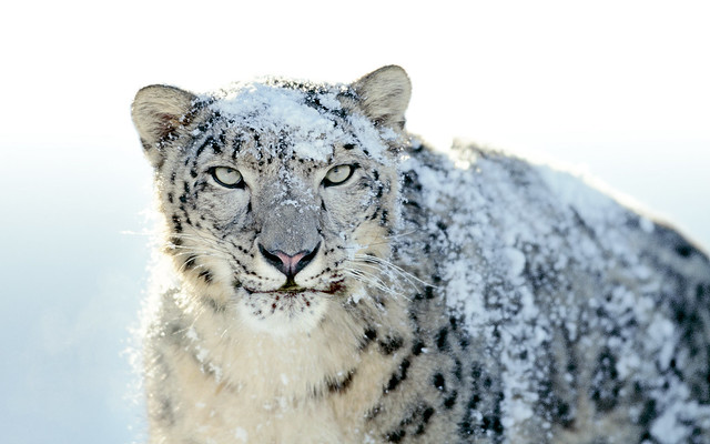 OS X Snow Leopard Wallpaper - Snow Leopard