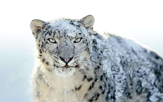 OS X Snow Leopard Wallpaper - Snow Leopard