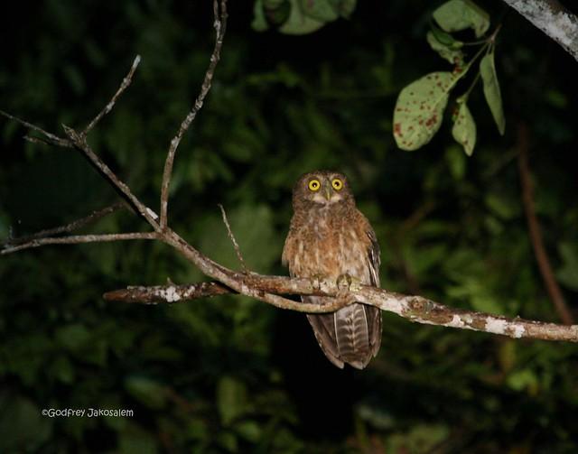 Philippine Hawk-Owl (Ninox philippensis spilonota ...