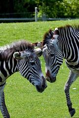 Toronto Zoo- Zebra