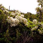bloomy sage-leafed pear tree