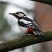 Great Spotted Woodpecker - Photo (c) Vitaliy Khustochka, some rights reserved (CC BY-NC)