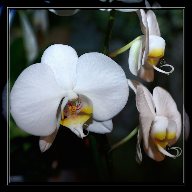 002 Three Orchids Framed