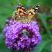 Small photo of Painted Lady