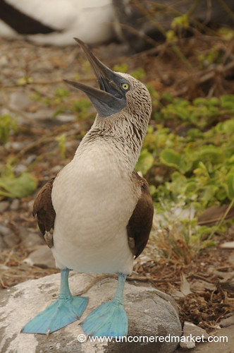 Male Booby Whistle - Galapagos Islands