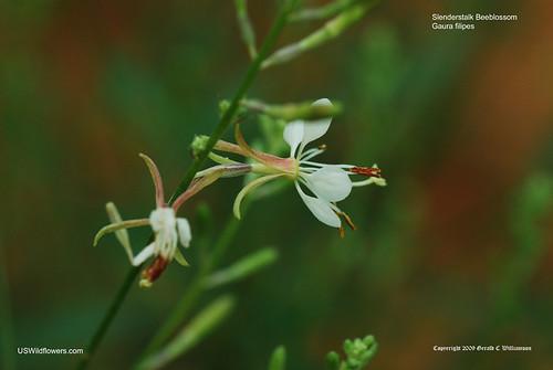 Slenderstalk Beeblossom, Slender Gaura - Gaura filipes