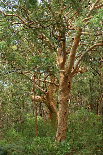 Australia Bush, Willow Tree