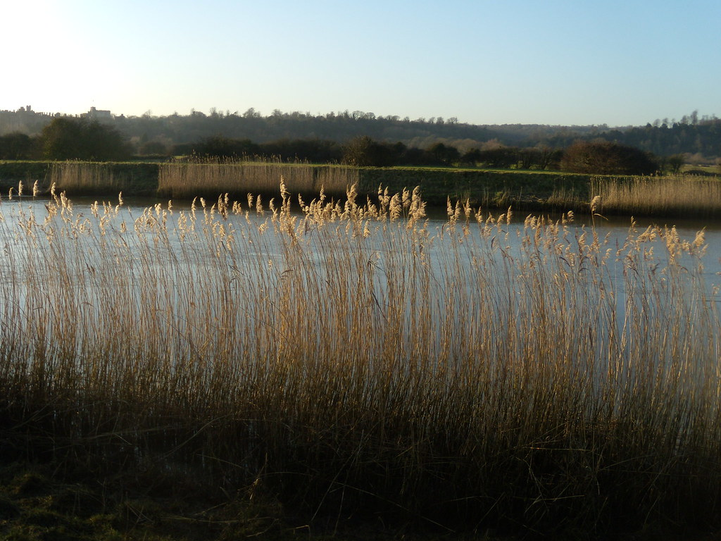 Reeds by the Arun Arundel Circular