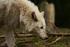 Looking Wolf