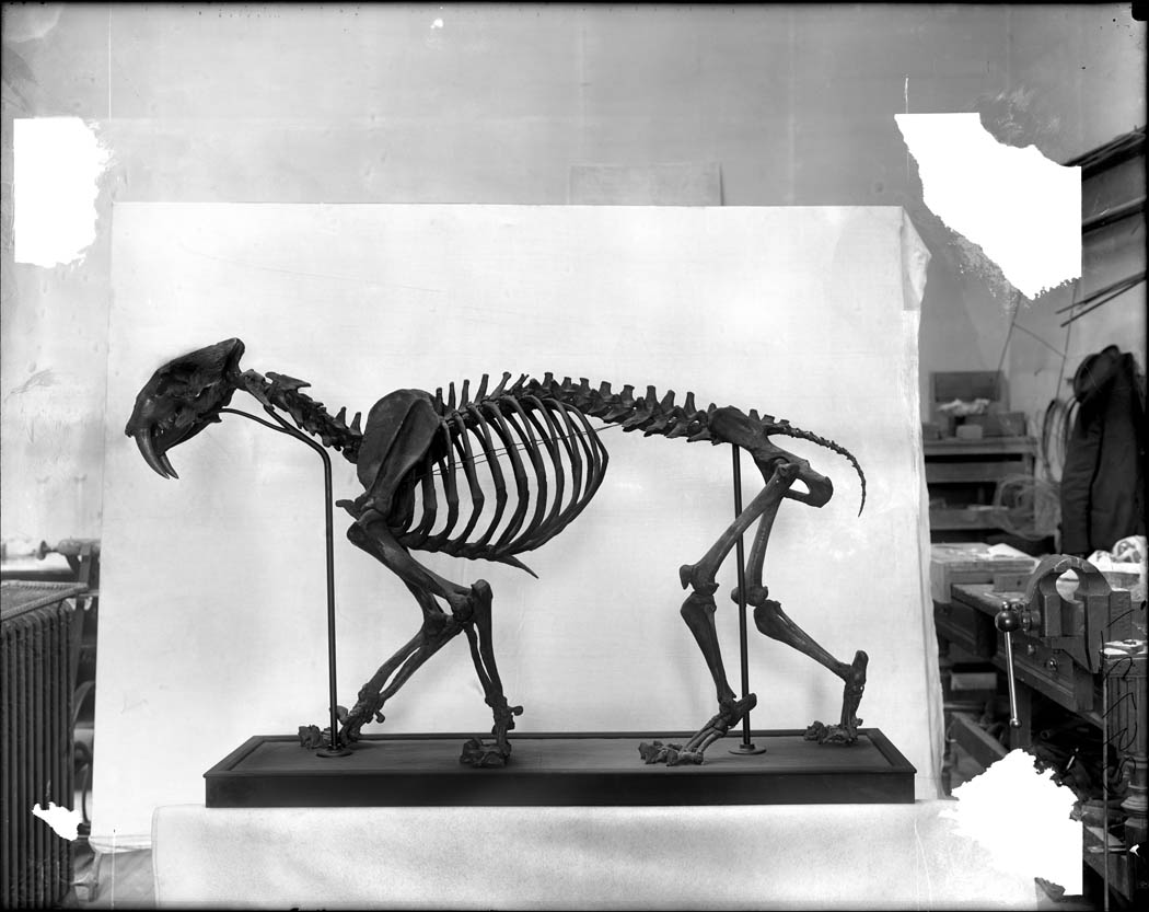 Smilodon californicus Bovard [sabertooth] skeleton