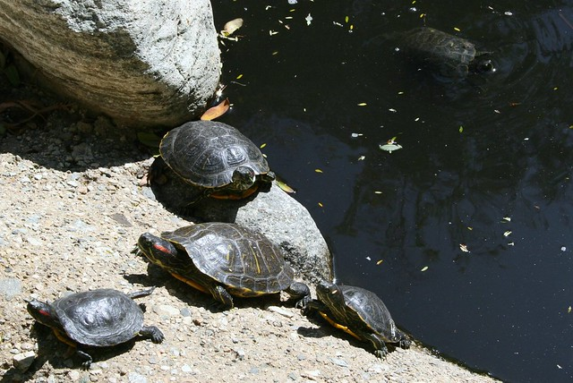 turtle family flickr   photo sharing